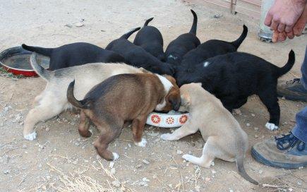 Cadells menjant