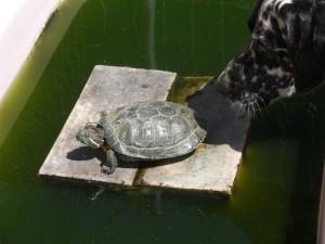 Tortuga prenent el sol mentre és oloarada per una gossa dalmata